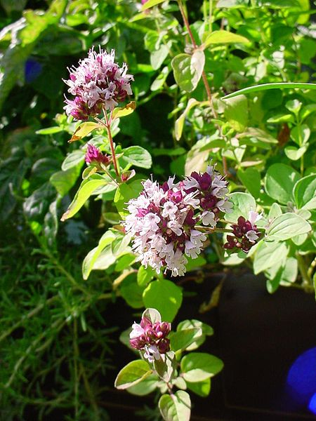 Oregano_flowers