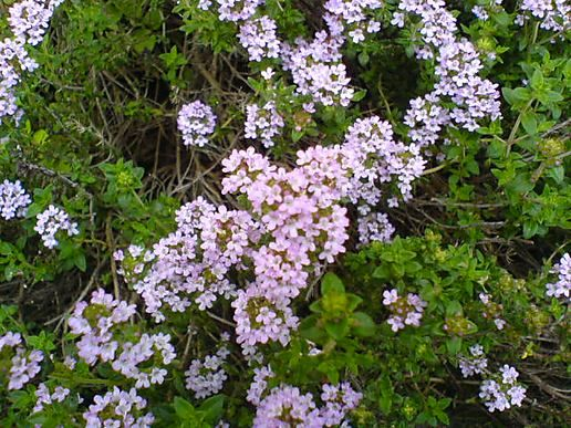 Thyme_flowers